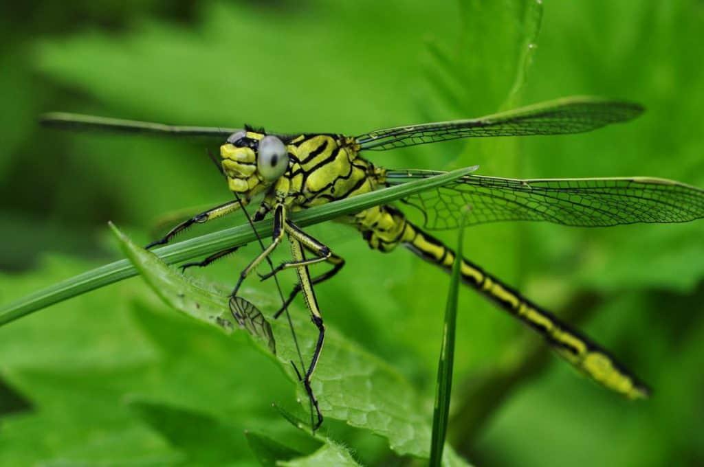 Do praying mantis eat dragonflies?