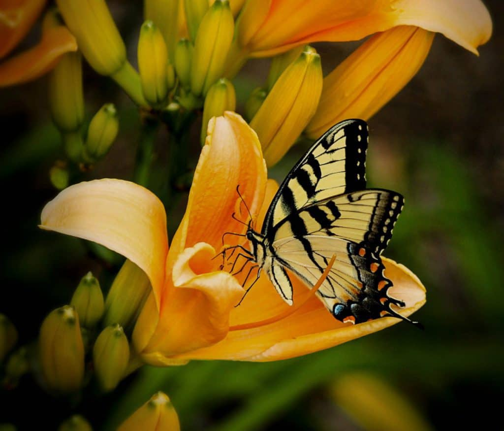Do praying mantis eat butterflies?