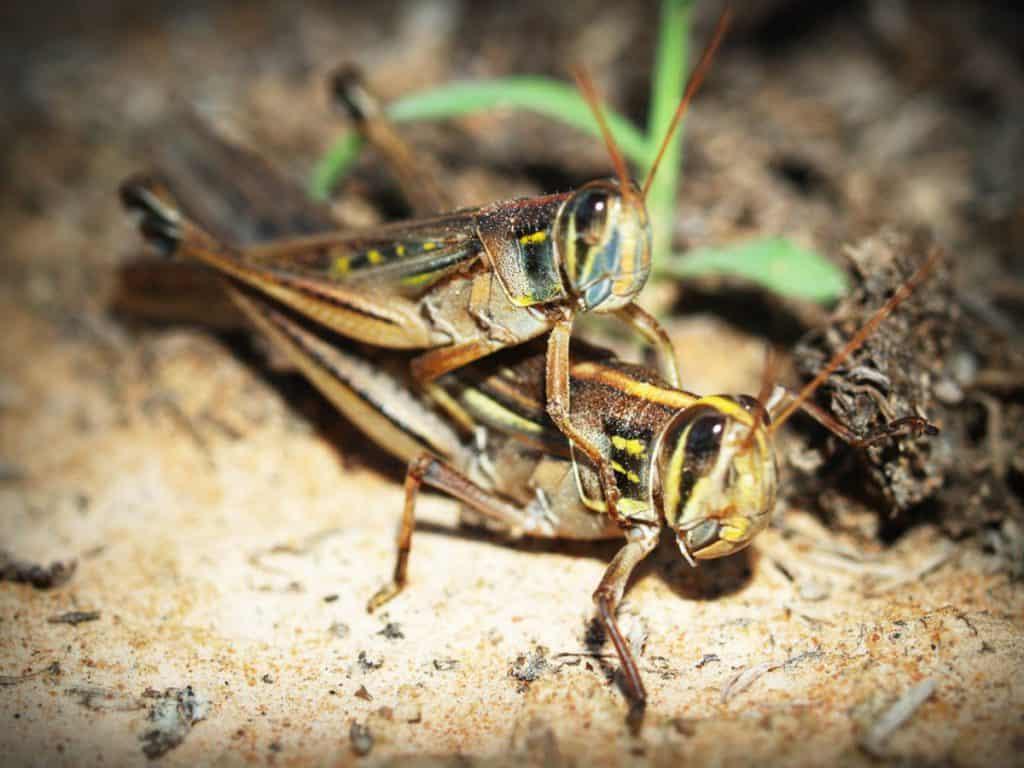 Do praying mantis eat locust?
