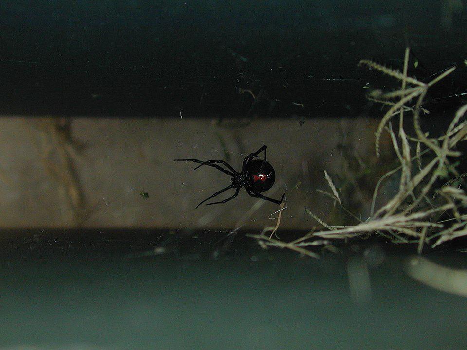 Do praying mantis eat black widows?