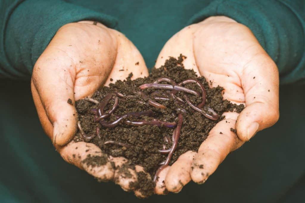 Do praying mantises eat mealworms?
