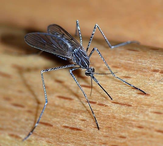 Do praying mantises eat mosquitoes?