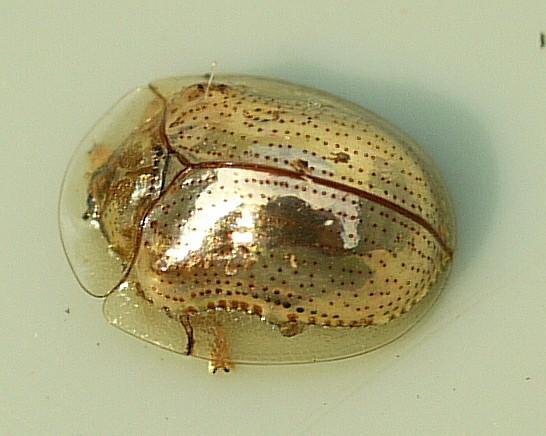 Do praying mantis eat Asian beetles?
