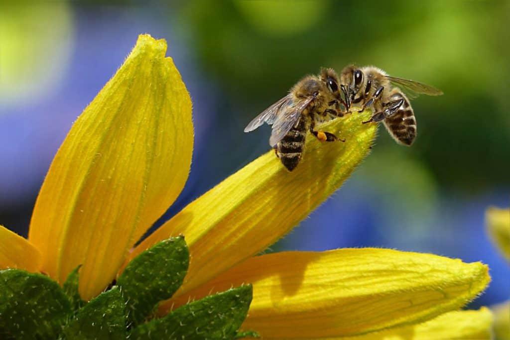 Do praying mantis eat Bees?