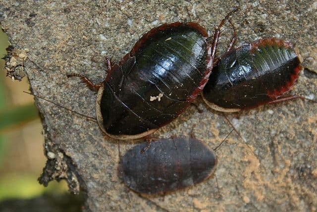 By Thomas Brown - Trilobite Cockroach (Laxta sp?)Uploaded by mgiganteus, CC BY 2.0, https://commons.wikimedia.org/w/index.php?curid=27451238