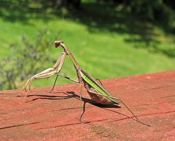 Do praying mantis eat their mates?