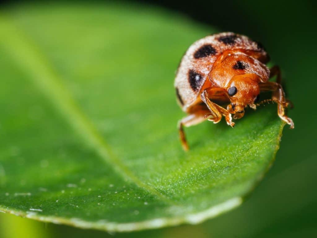 do ladybugs bite or sting